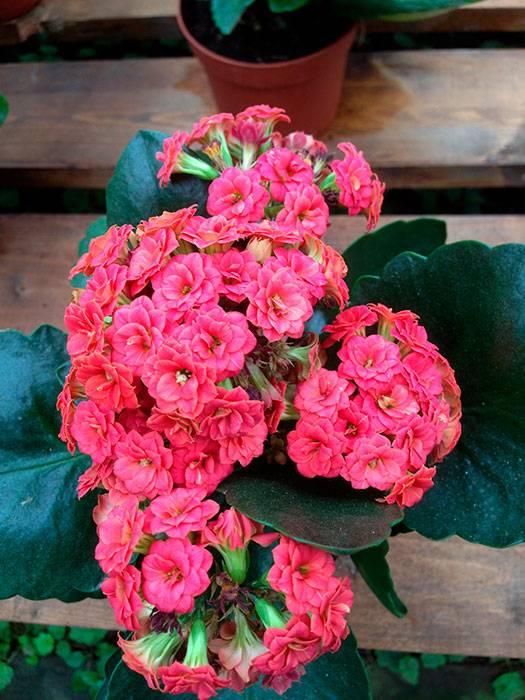 Цветок каланхоэ (120+ фото & видео) – уход в домашних условиях, пересадка, размножение, полезные свойства +отзывы