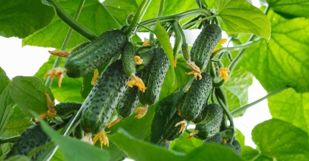 9 самых урожайных сортов огурцов