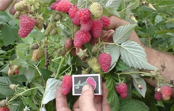 Малина таруса: описание и характеристики штамбового сорта, вкусовые качества ягод + посадка саженцев, формировка куста
