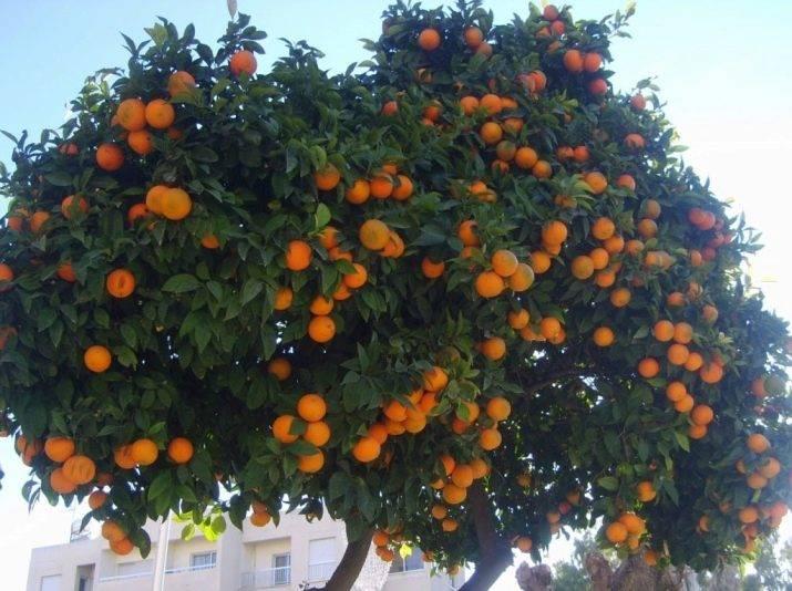 Сбор урожая и урожайность апельсинового дерева - wikifarmer