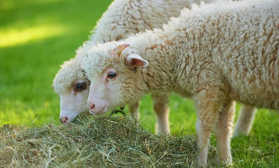 Особенности кормления овец, ягнят и баранов производителей