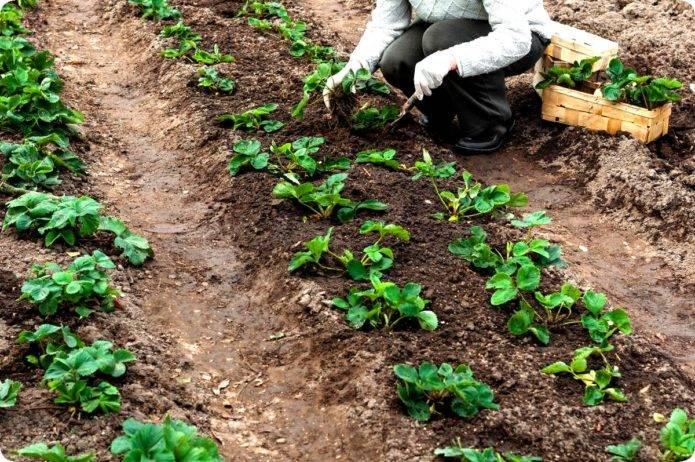 Пересадка клубники на новое место: весной, летом, осенью, способы размножения, сроки