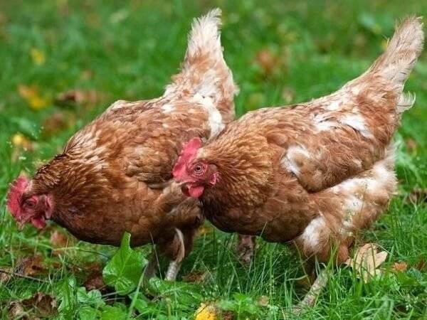 Рейтинг кур мясо яичных пород - какая лучше