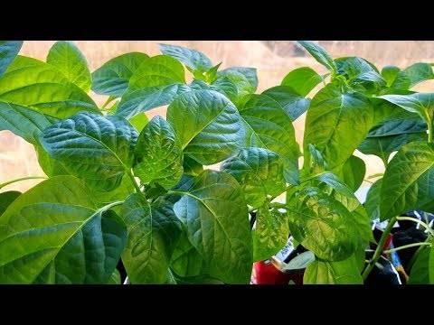 Инструкция по выращиванию рассады болгарского перца