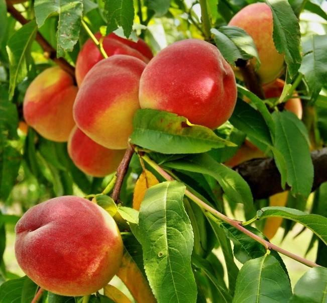 Персик ред хейвен - самый вкусный американский сорт