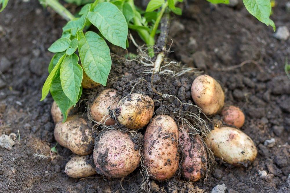 Почему скручиваются листья у картофеля: причины и лечение