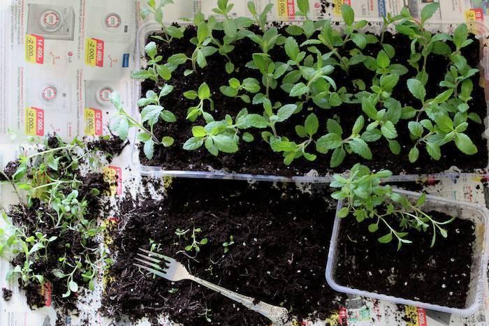 Выращивание укропа на подоконнике в квартире круглый год