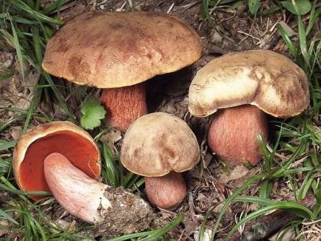 Трутовик каштановый – большой и массовый гриб