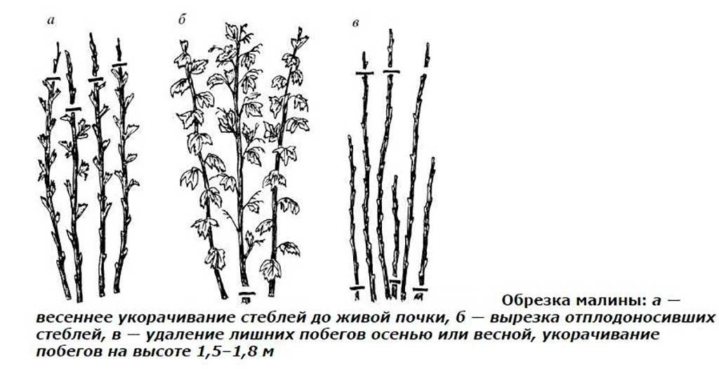 Обрезка малины осенью: на какую высоту, схема, в подмосковье,