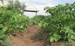 Внекорневая подкормка картофеля