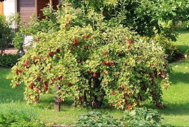 Осенняя обработка смородины — советы садоводов