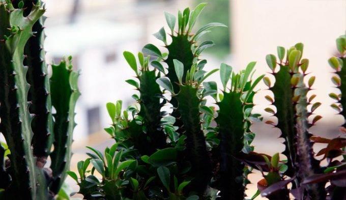 Молочай: размножение и выращивание в домашних условиях комнатного цветка, уход, фото, а также когда посадить отросток и укоренить черенки, как выбрать семена? selo.guru — интернет портал о сельском хозяйстве