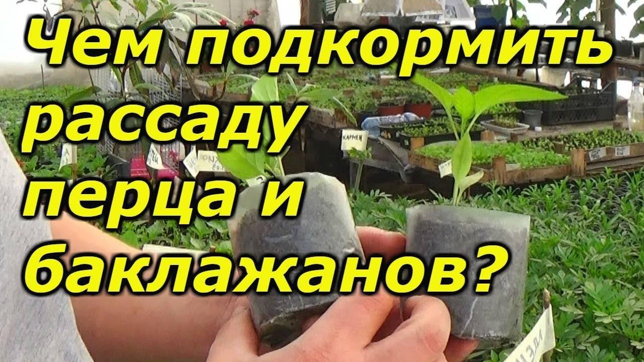 Подкормка баклажанов в открытом грунте: обзор эффективных способов
