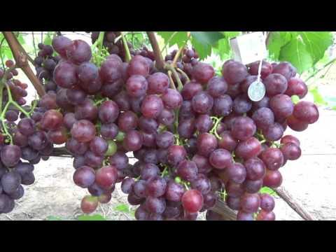 Виноград низина: описание сорта, фото, посадка и уход