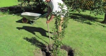 Пошаговая инструкция для посадки груши весной и осенью