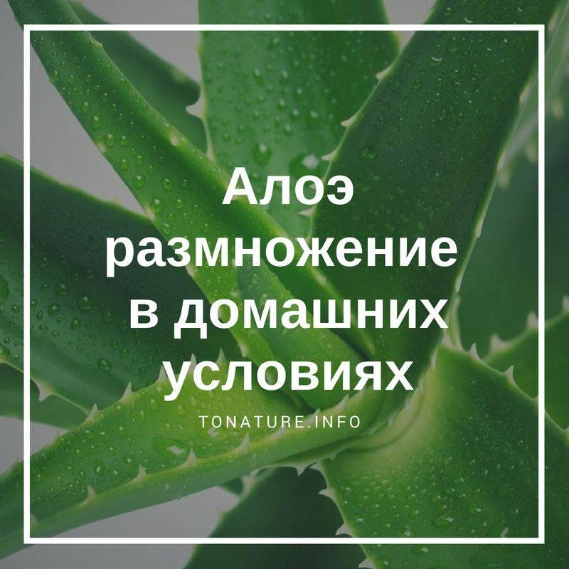 Алоэ: уход в домашних условиях за растением, как поливать, срезать листья, как цветет?