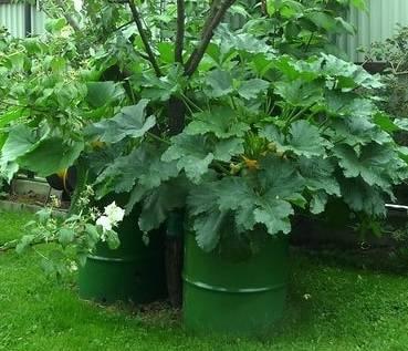 Выращивание кабачков в открытом грунте: лучшие способы посадки выращивание кабачков в открытом грунте: лучшие способы посадки