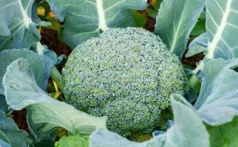Ученые ошеломили: лекарство против рака всё это время таилось в обыкновенном зеленом овоще... как с помощью подручных средств вырастить мощнейший онкопротектор.