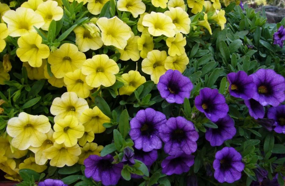 Пикировка петуний: обязательно ли пикировать растение? правильное пикирование петуний после всходов в домашних условиях