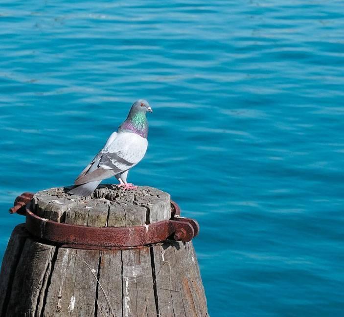 Сизый голубь: фото, описание породы