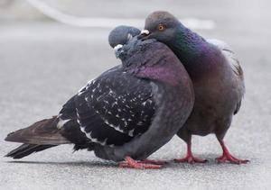 Размножение голубей: как спариваются и создают гнёзда