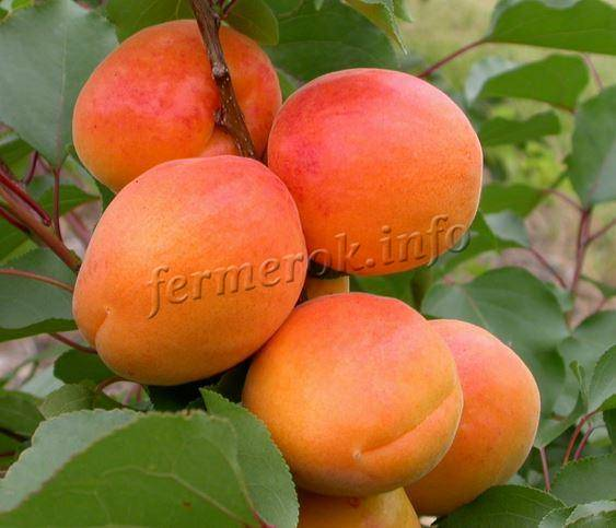 Сорта абрикосов с фото, названиями и описанием: орловчанин, компотный, лель и другие сорта абрикосов
