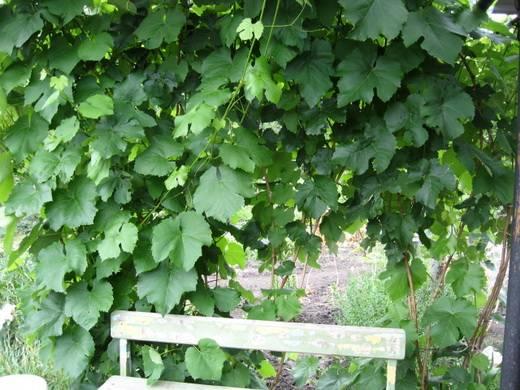 Сорт винограда низина: описание, фото
