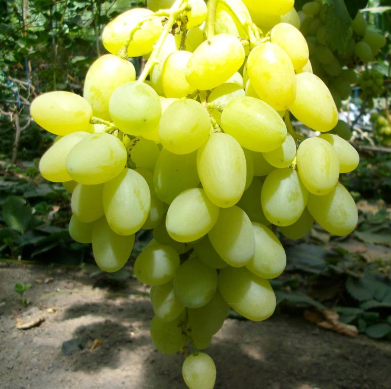 Прямо из магарача: сорт винограда изюминка