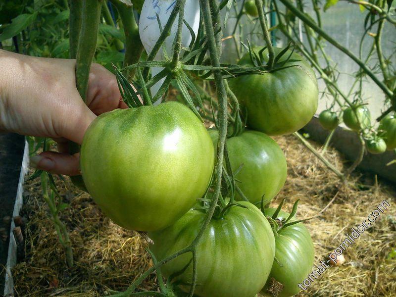 Описание сорта томата вова путин и его характеристики - всё про сады