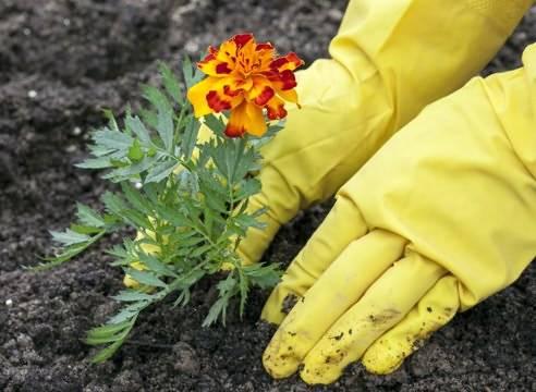 Когда сеять бархатцы на рассаду - посадка по срокам, как правильно сажать в разных регионах и ухаживать за цветами