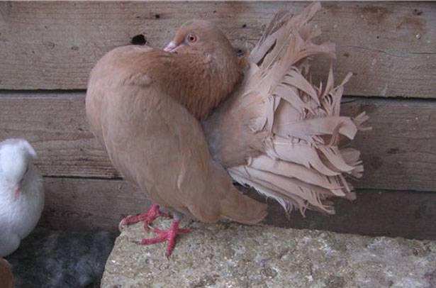Содержание голубей в домашних условиях: уход и кормление