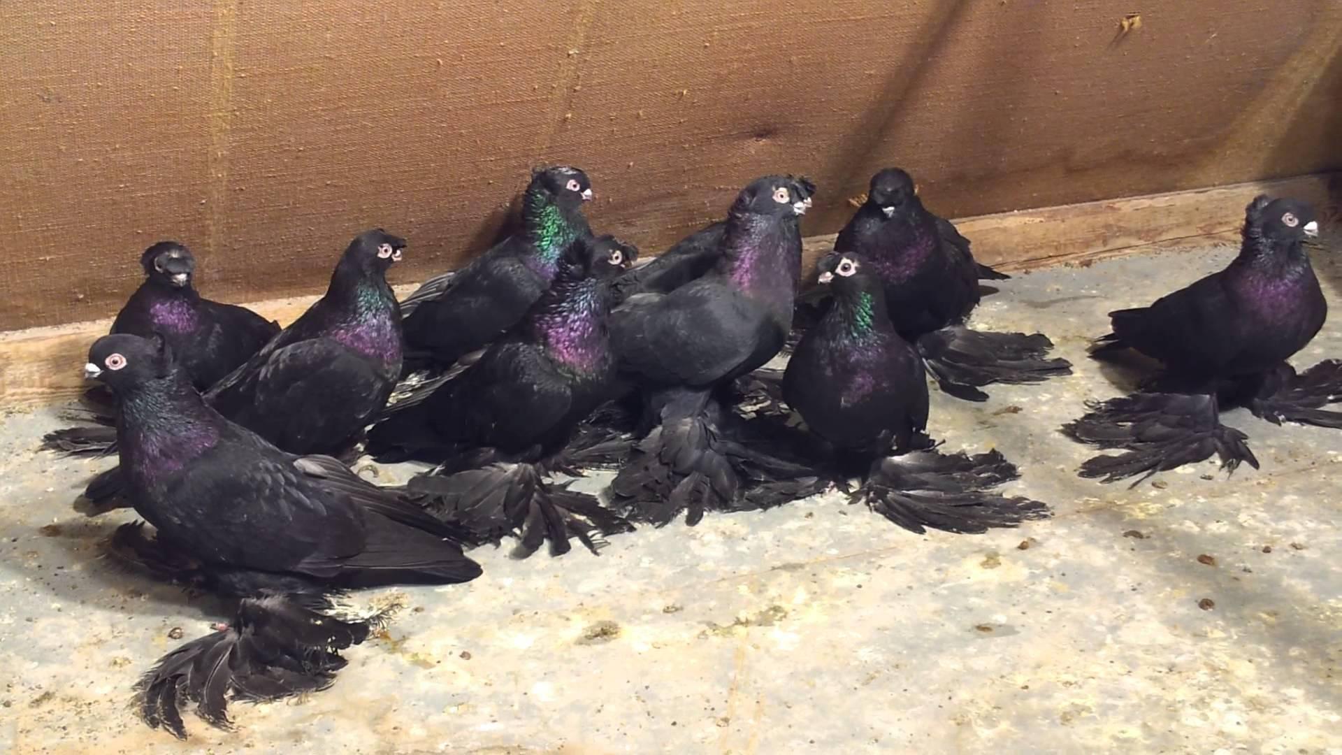 Как выглядят голуби персы