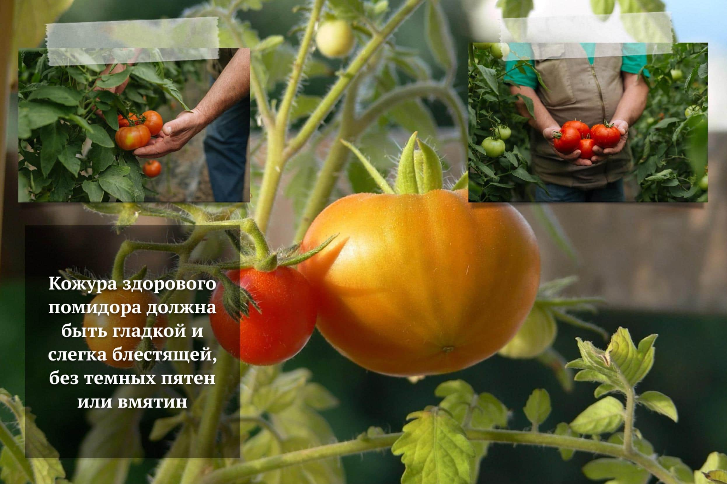 Подкормка томатов в открытом грунте для хорошего урожая