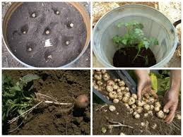 Как повысить урожайность картофеля: выращивание в бочке
