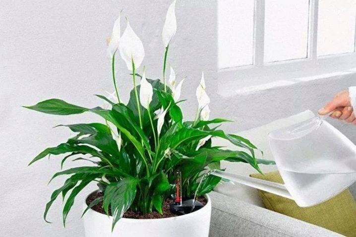Как поливать спатифиллум: как часто нужно орошать цветок «женское счастье» в домашних условиях летом, сколько раз в неделю надо увлажнять почву зимой, как правильно проводить опрыскивание?