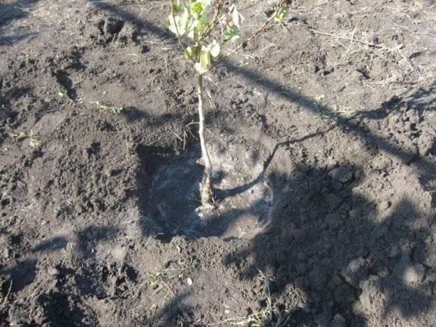 Как сажать грушу весной в подмсковье и других регионах россии: пошаговая инструкция с фото