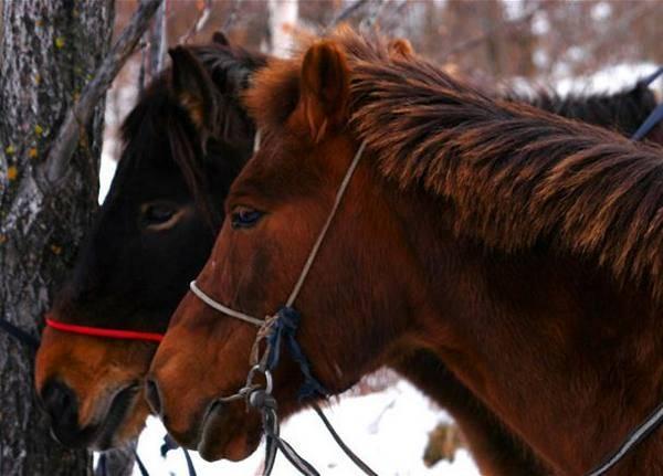 Описание Монгольской лошади