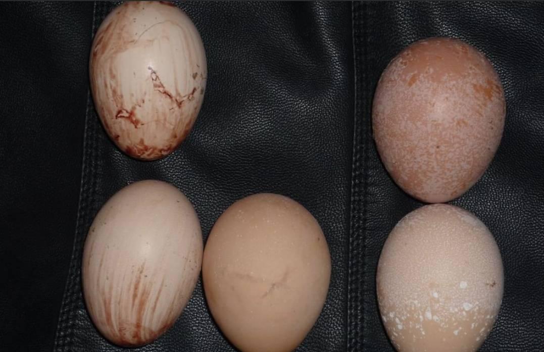 Сальпингит или воспаление яйцевода у кур: причины, лечение болезни, меры профилактики
