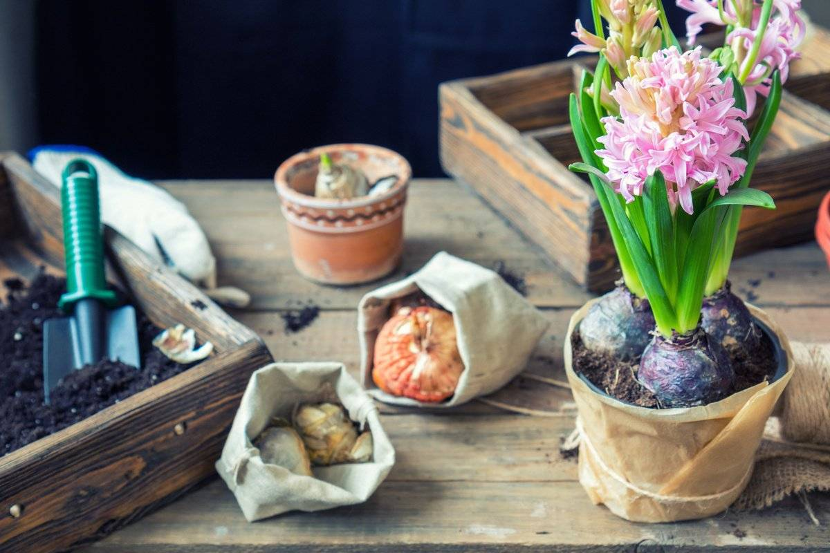 Как выращивать гиацинты дома