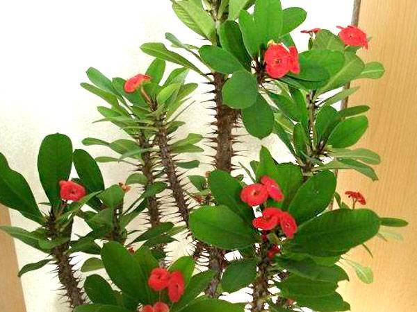 Молочай тирукалли (27 фото): уход за цветком в домашних условиях. на какое растение похожа эуфорбия каучуконосная?