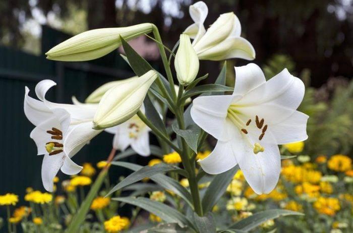 Лилия триумфатор — описание и уход, выращивание и отзывы ?