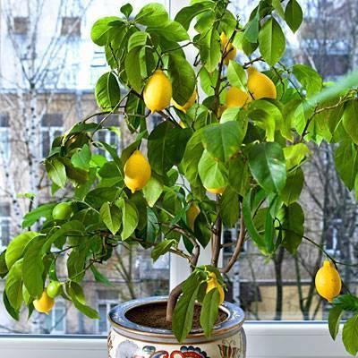 Лимонное дерево в домашних условиях: как правильно посадить лимон из косточки и как укоренить черенки?