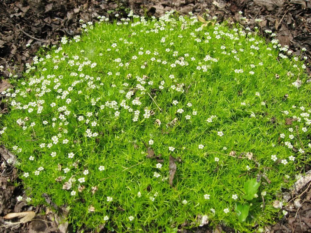 Как выращивать мшанку шиловидную: посадка, размножение и уход за ирландским мхом, устройство газона из мха