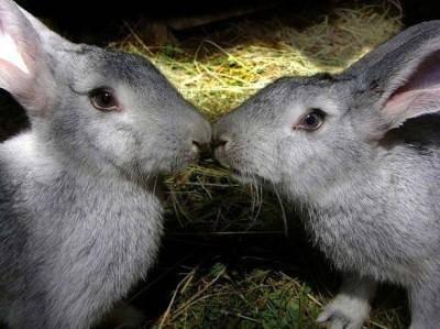 Как отличить кролика от крольчихи в раннем возрасте?