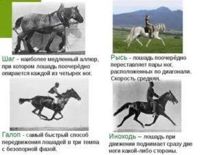 Бег лошади (аллюры): шаг, рысь, галоп и их скорость