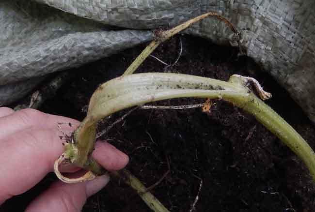 У огурцов на подоконнике сохнут листья: причины, методы лечения
