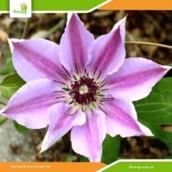 Клематис нелли мозер: характеристика растения и методики выращивания