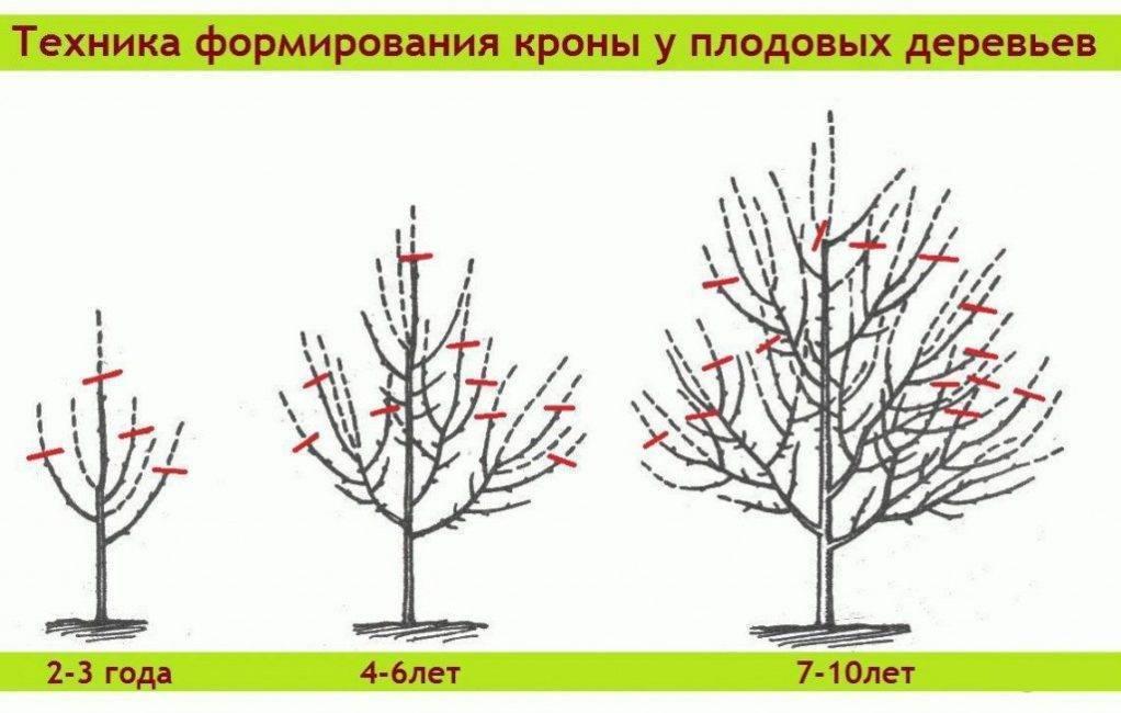 Обрезка деревьев весной для начинающих в картинках пошагово