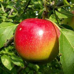 Яблоня соколовское: описание, отзывы, выращивание и уход + фото