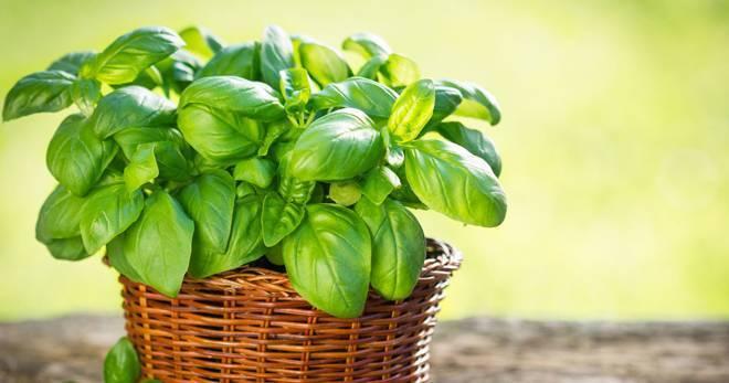 Когда сеять базилик на рассаду в 2020 году: сроки посева и уход